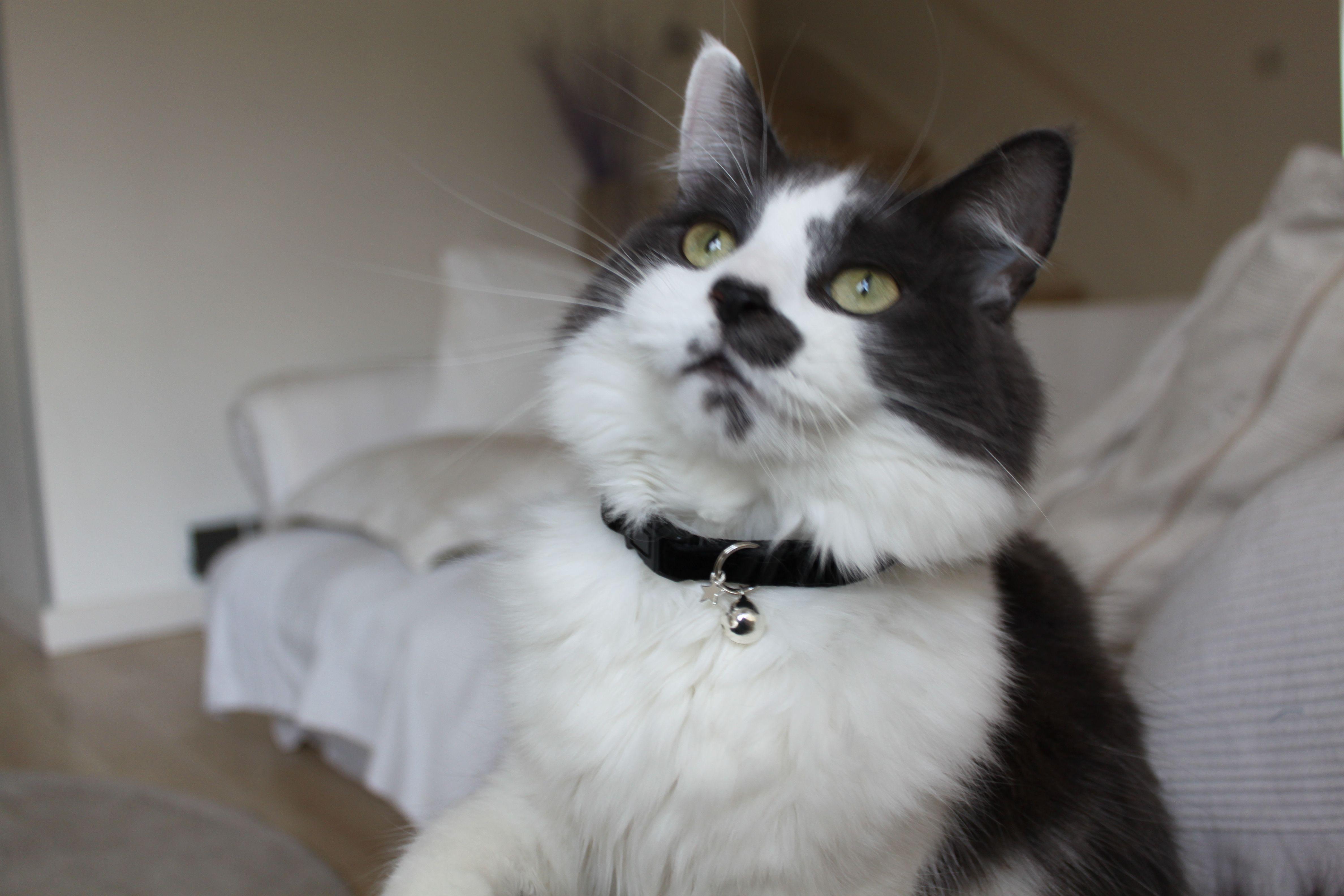 velvet cat collar