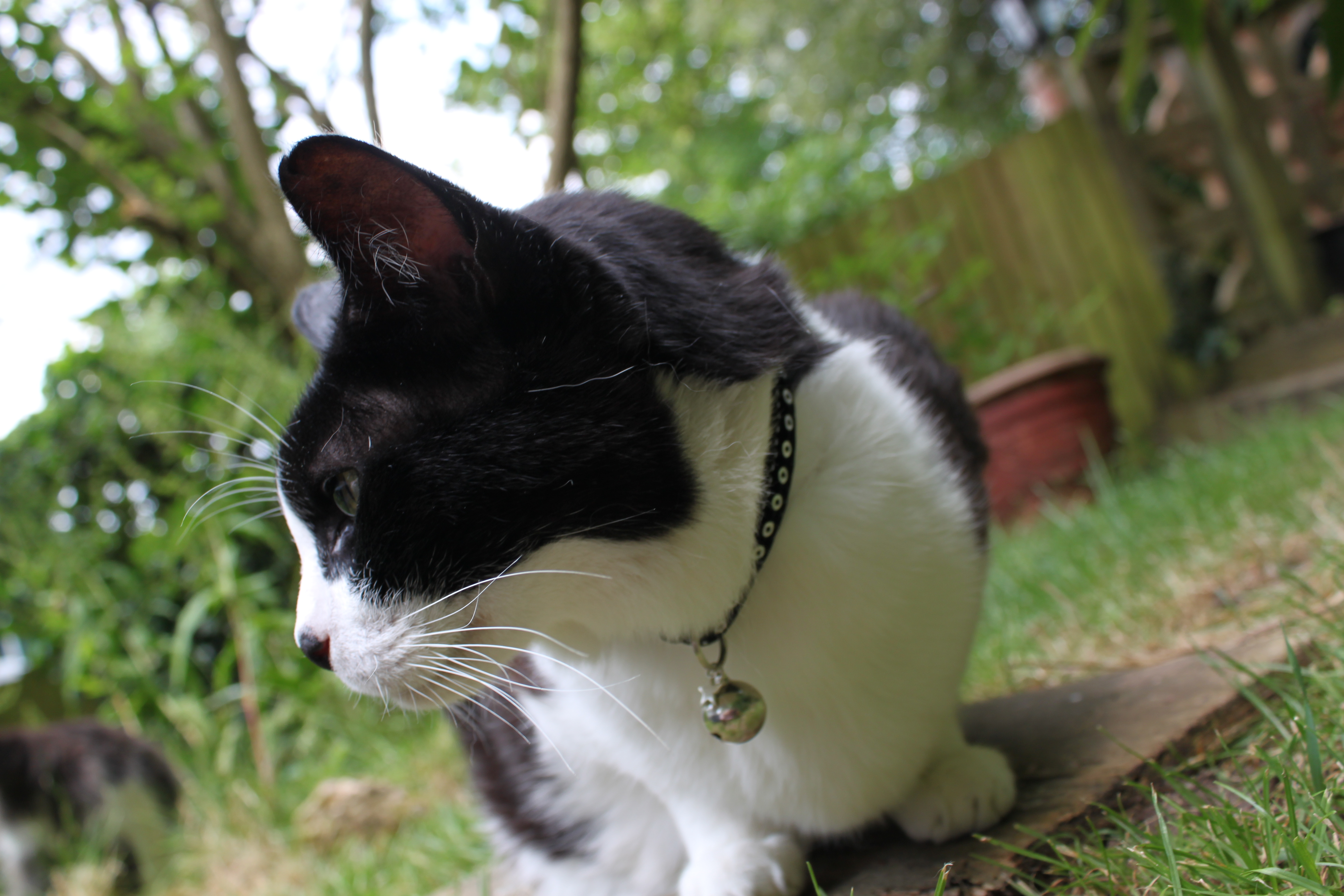 Fitting a cat collar correctly