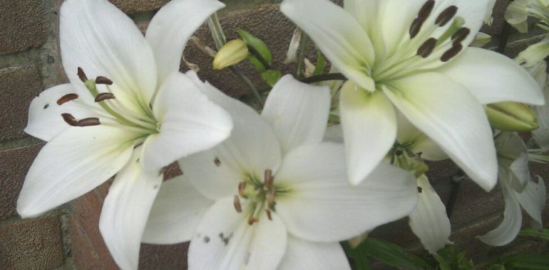 Beware - Lilies Poison and Kill Cats - Kitty Direct Lily Poison