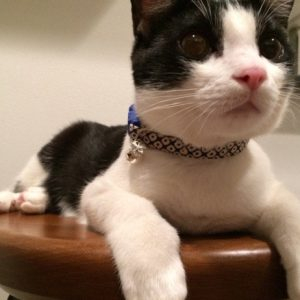 Japanese Cotton Kitten Collar Review