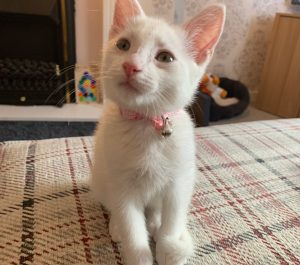 Snowball kitten wearing pink kitten bow collar